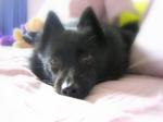 Resting Schipperke dog