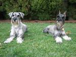 Resting Schnauzer, Standard dogs