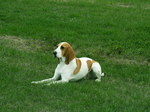 Resting Schweizer Laufhund