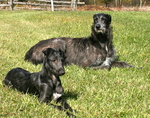 Resting Scottish Deerhound dogs