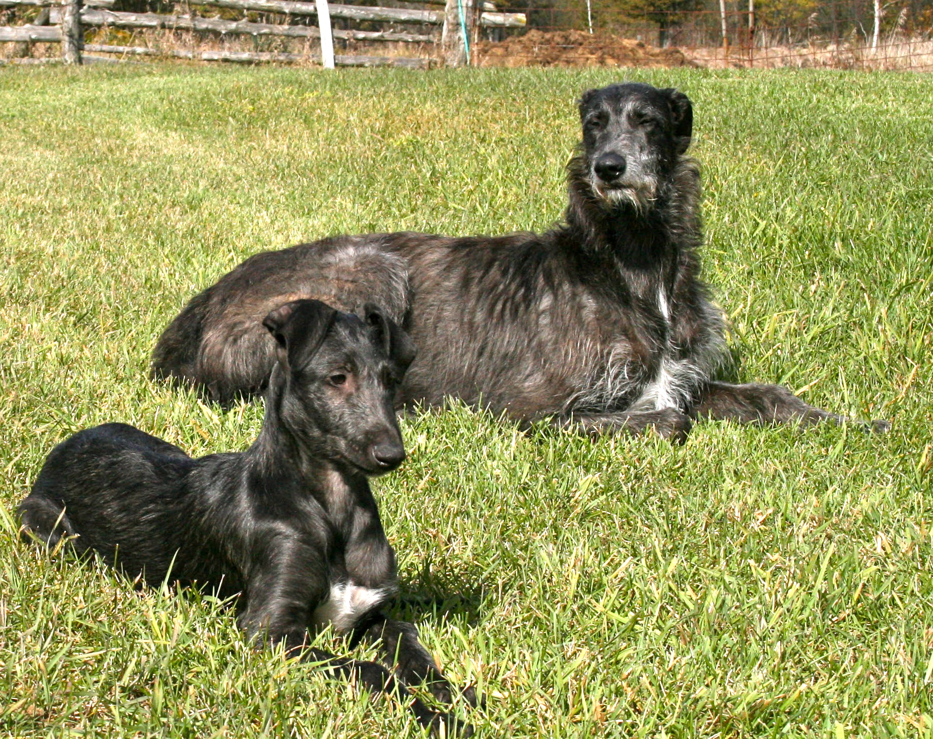Resting Scottish Deerhound dogs wallpaper