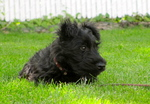 Resting Scottish Terrier dog