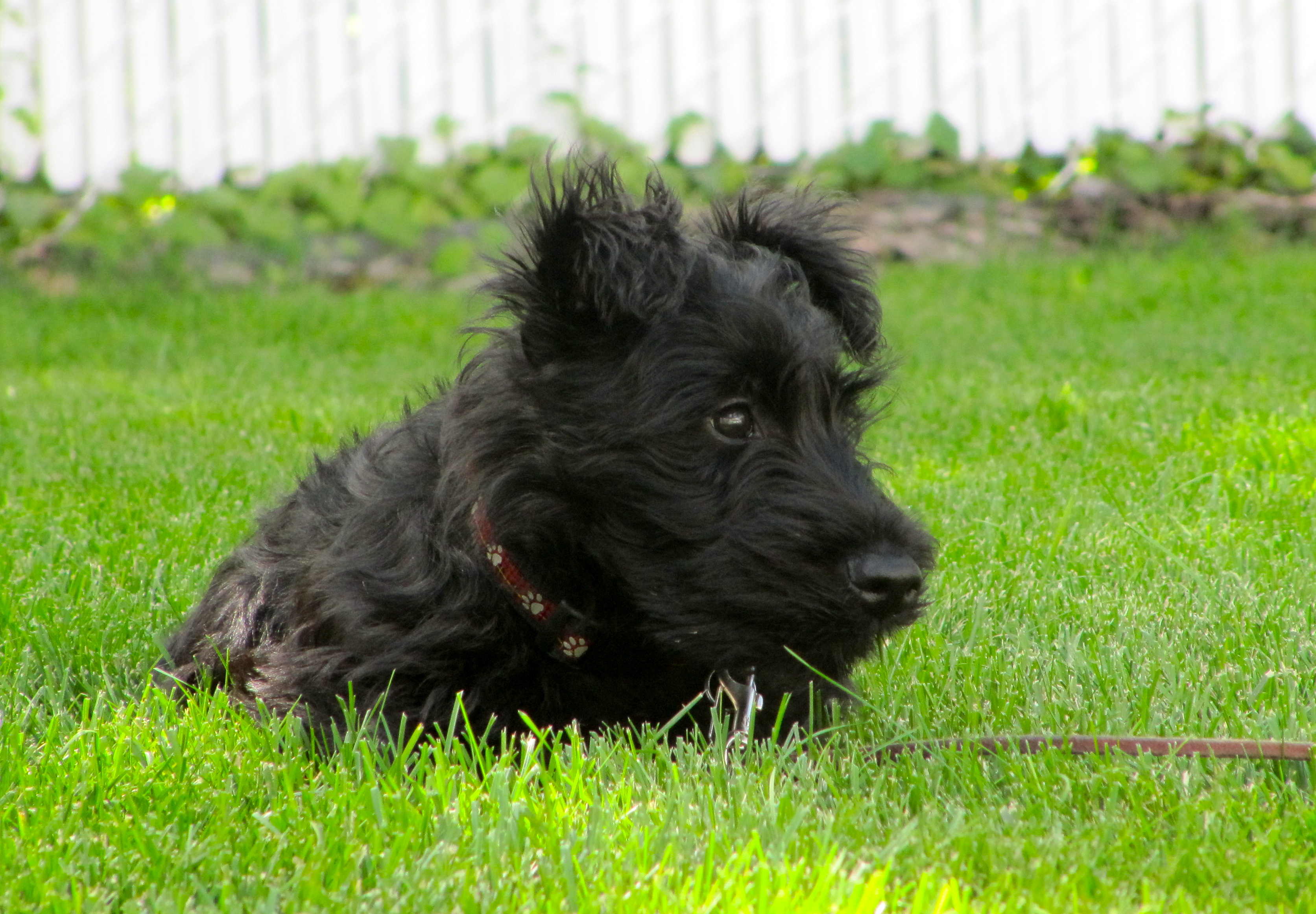 Resting Scottish Terrier dog wallpaper