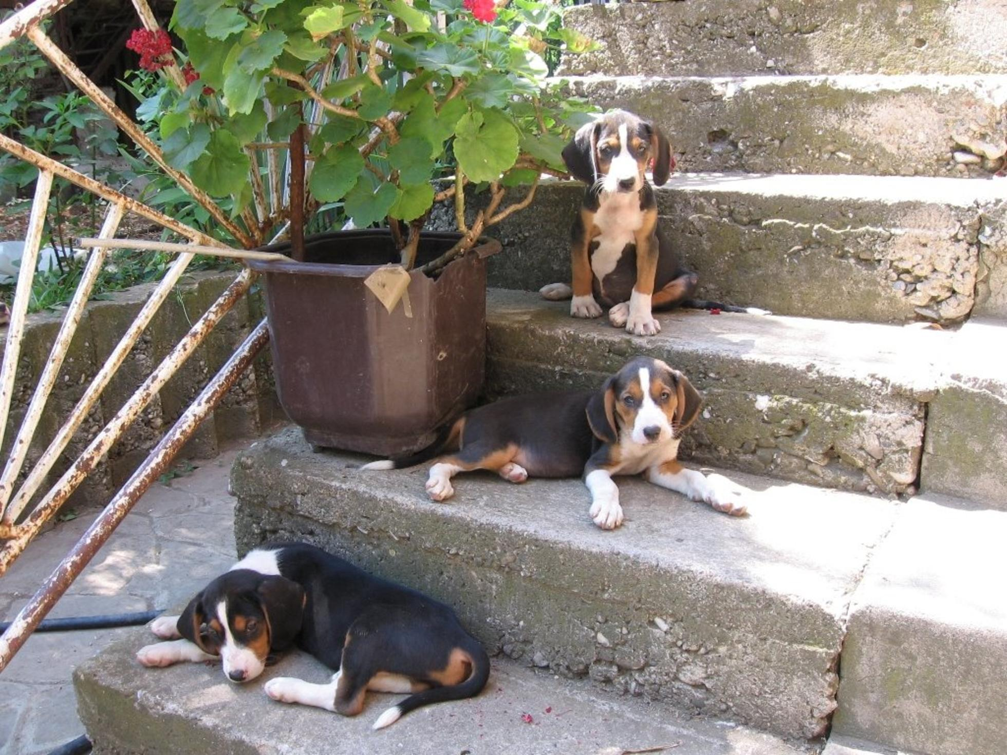 Resting Serbian Hound dogs wallpaper
