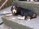 Resting Serbian Tricolour Hound