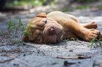 Resting Shar Pei puppy