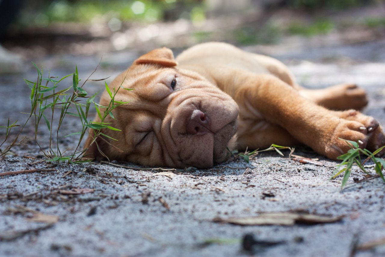 Resting Shar Pei puppy wallpaper