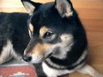 Resting Shiba Inu dog