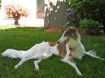 Resting Silken Windhound