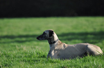 Resting Sloughi dog