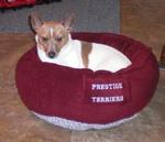 Resting Teddy Roosevelt Terrier