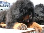 Resting Tibetan Mastiff