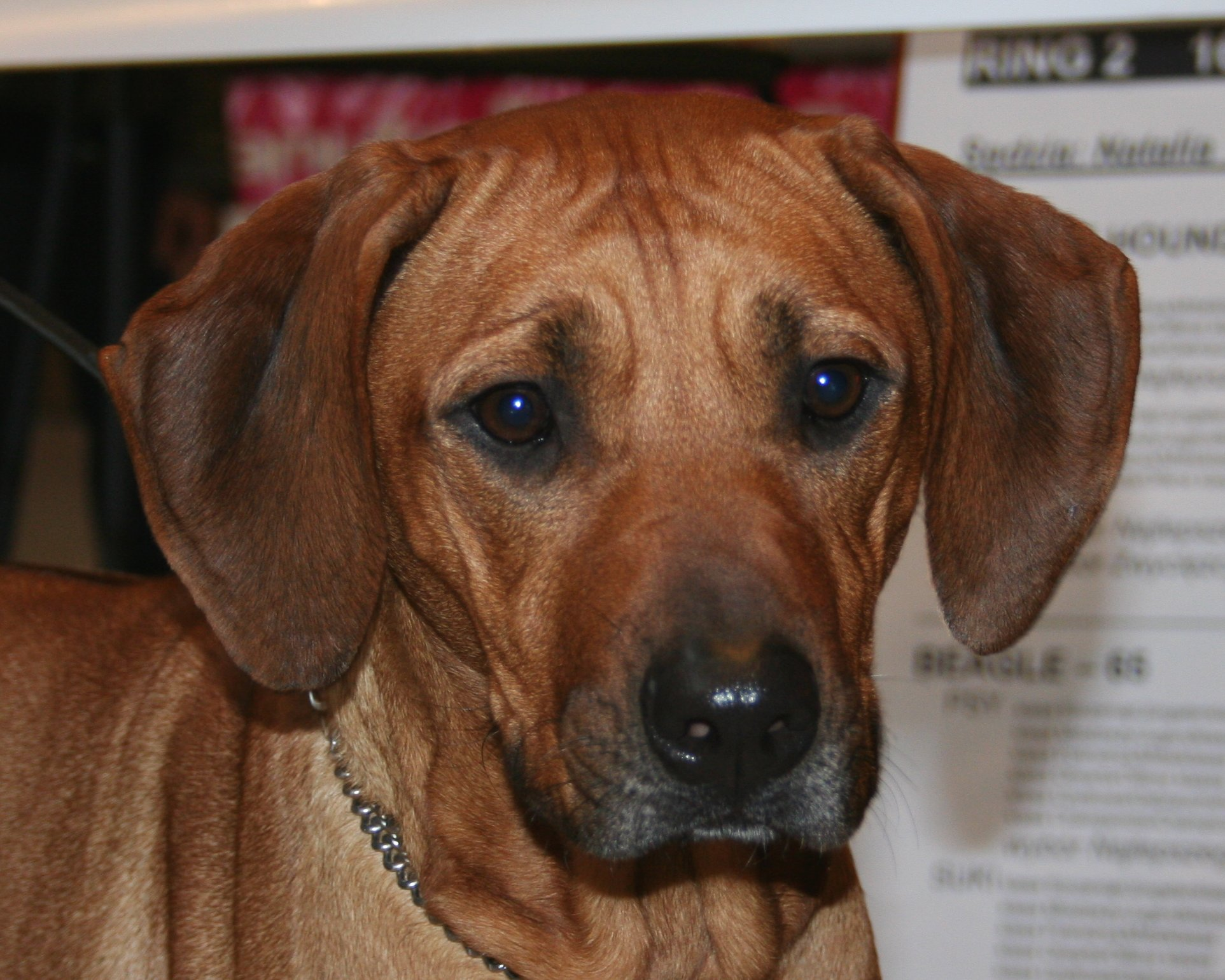 Rhodesian Ridgeback dog face wallpaper