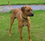 Rhodesian Ridgeback dog on the grass