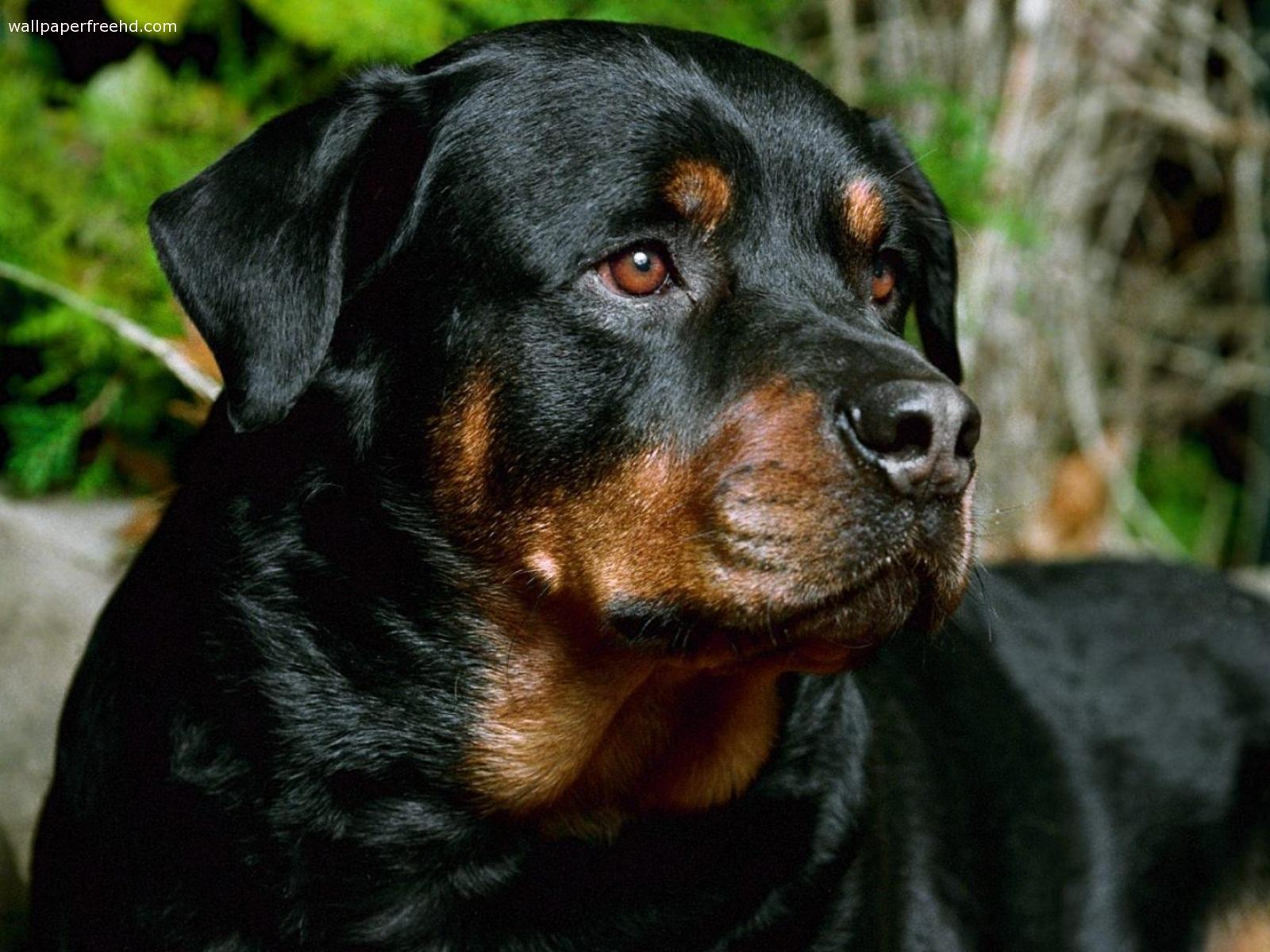 Rottweiler dog face wallpaper