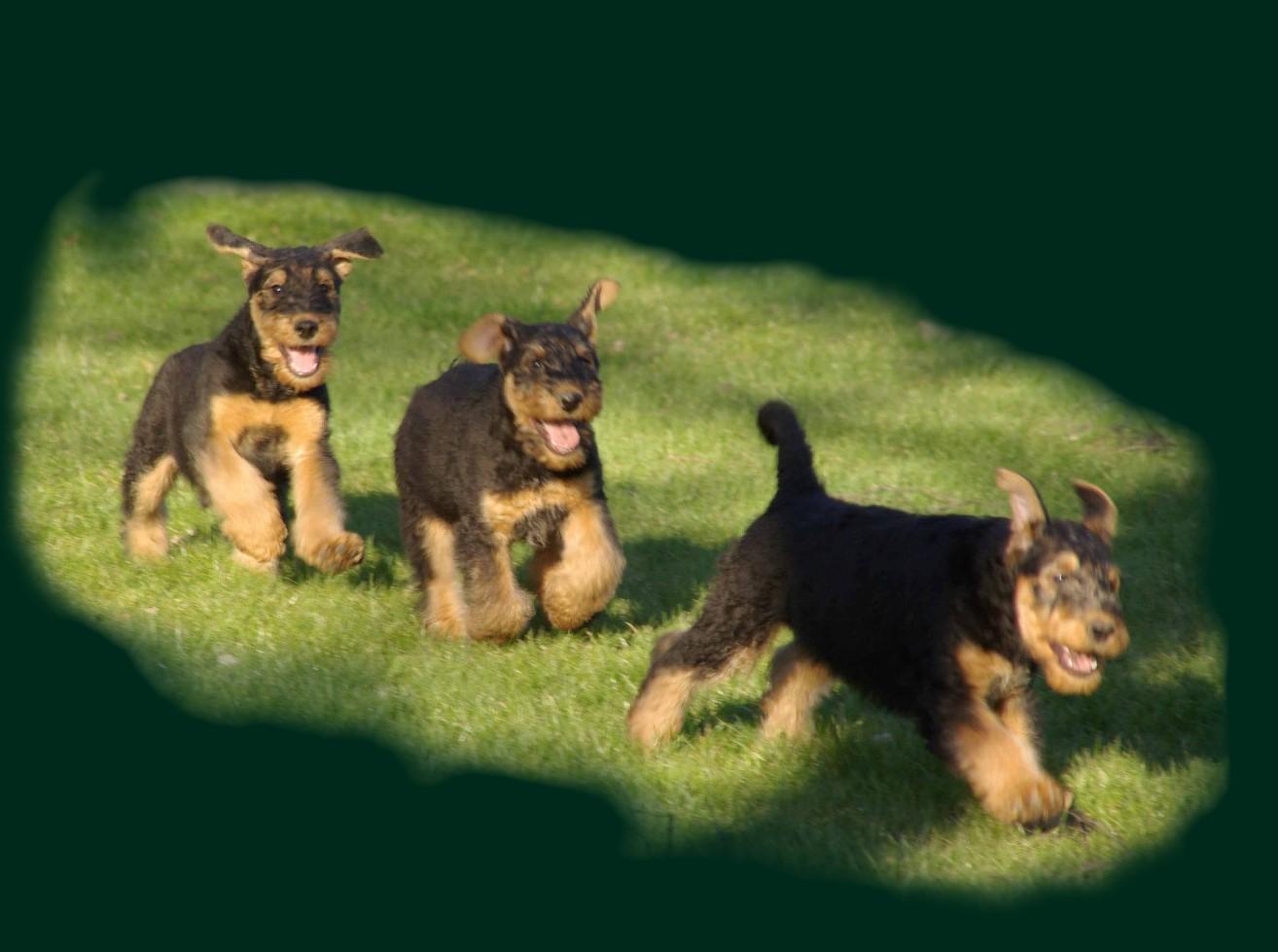 Running Airedale Terrier green wallpaper