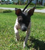 Running American Hairless Terrier puppy