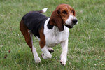 Running Black and Tan Virginia Foxhound dog