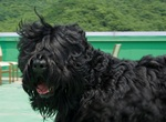 Running Black Russian Terrier dog