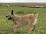 Running Bouvier des Ardennes dog