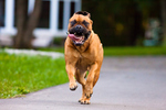 Running Bullmastiff dog