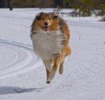 Running Collie Rough
