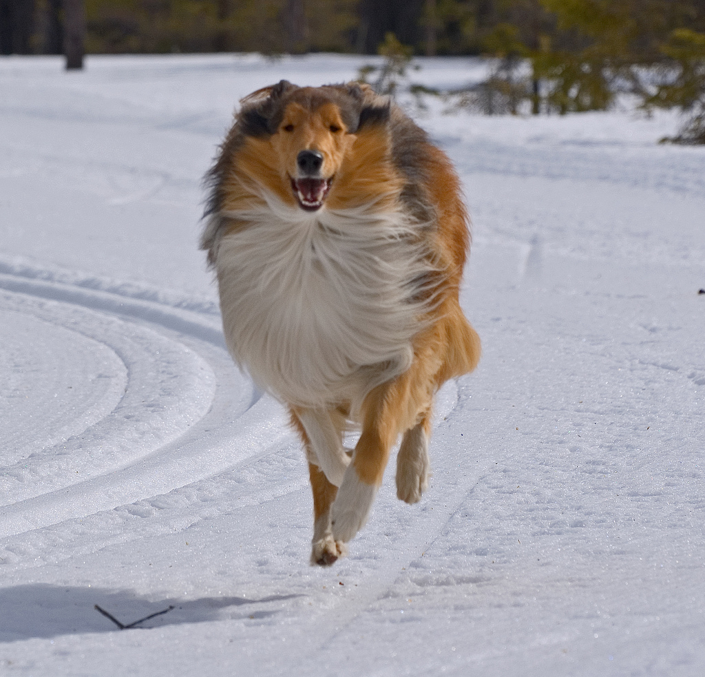 Running Collie Rough  wallpaper