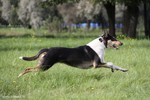Running Collie Smooth dog
