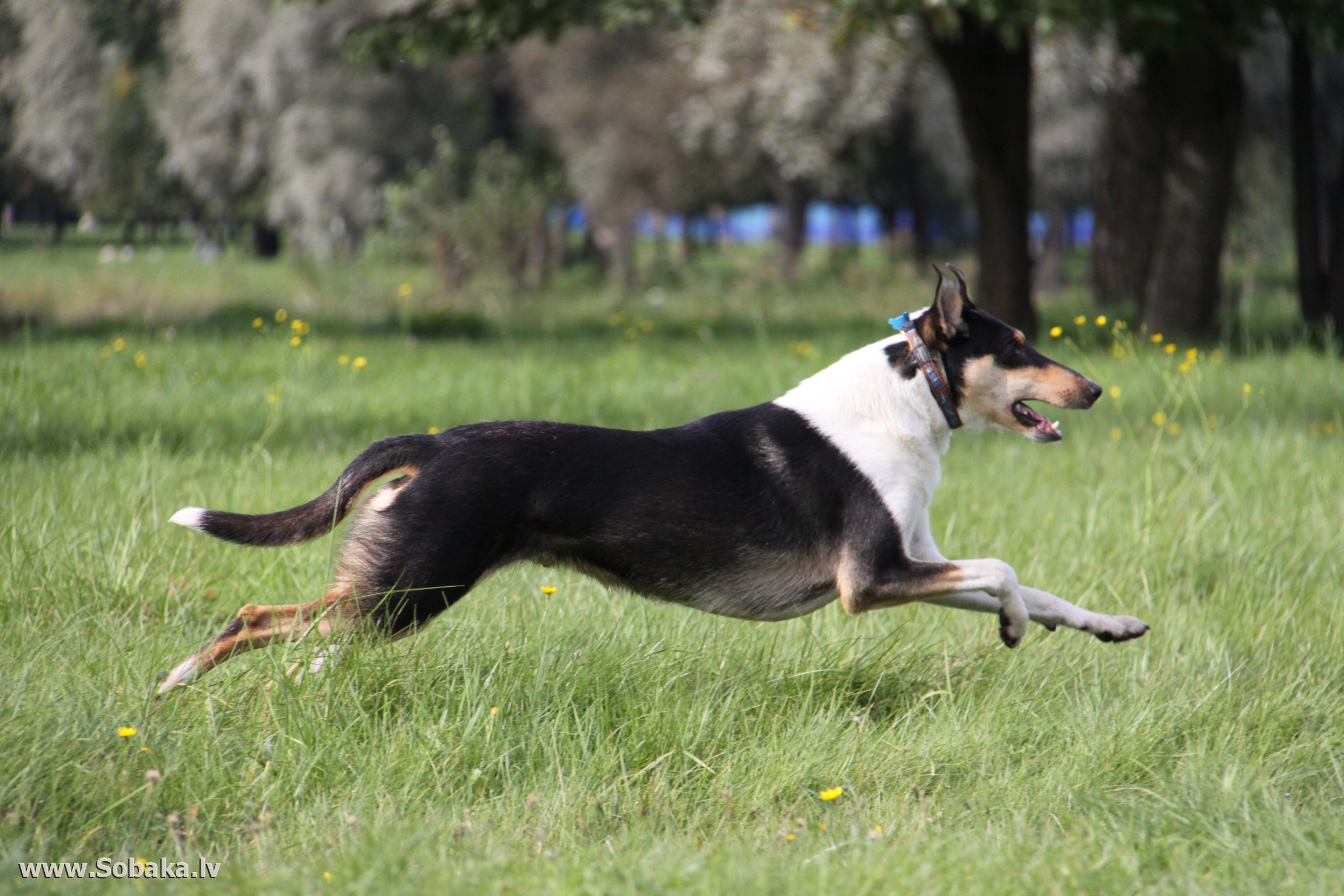 Running Collie Smooth dog wallpaper