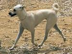 Running Cretan Hound dog