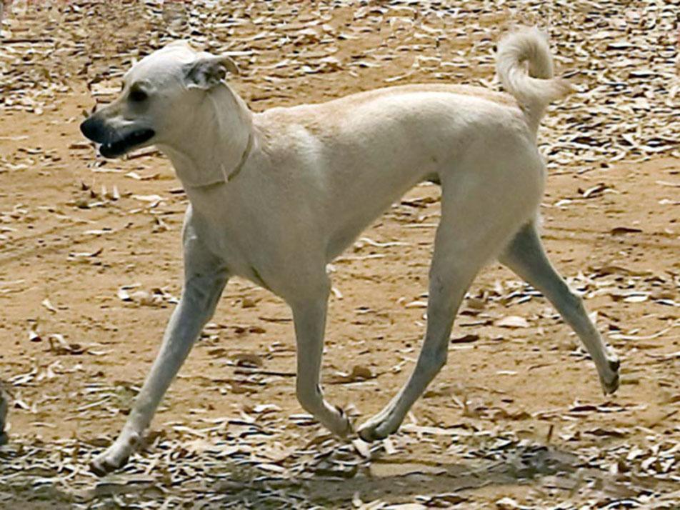 Running Cretan Hound dog wallpaper