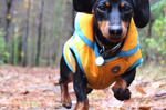 Running Dachshund dog