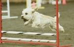 Running Dandie Dinmont Terrier