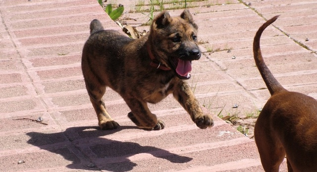 Running Dogo Sardesco puppy wallpaper