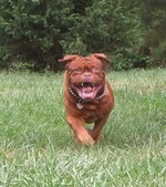 Running Dogue de Bordeaux dog