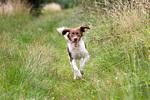 Running Drentse Patrijshond dog