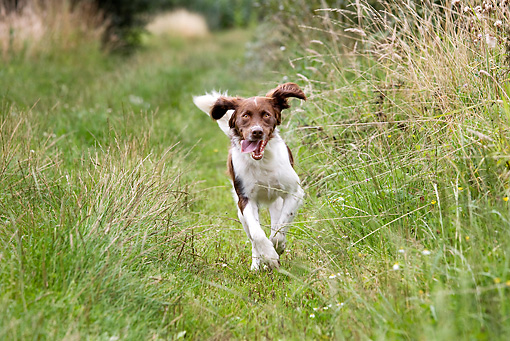 Running Drentse Patrijshond dog wallpaper