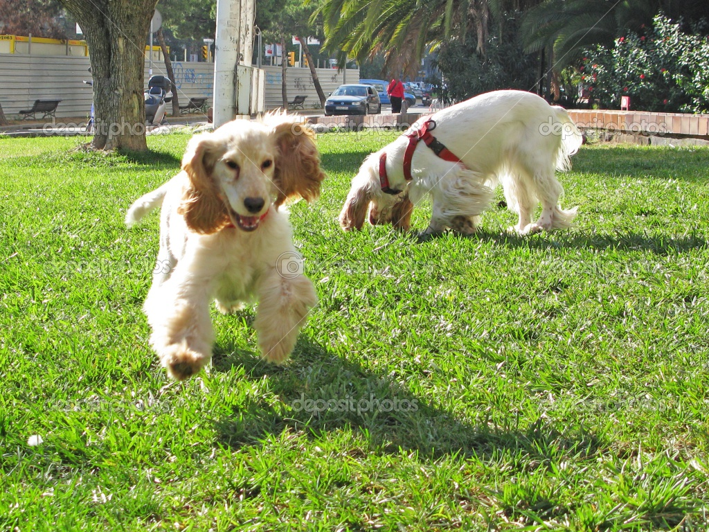 Running English Cocker Spaniel dogs wallpaper