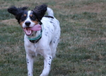 Running English Setter dog