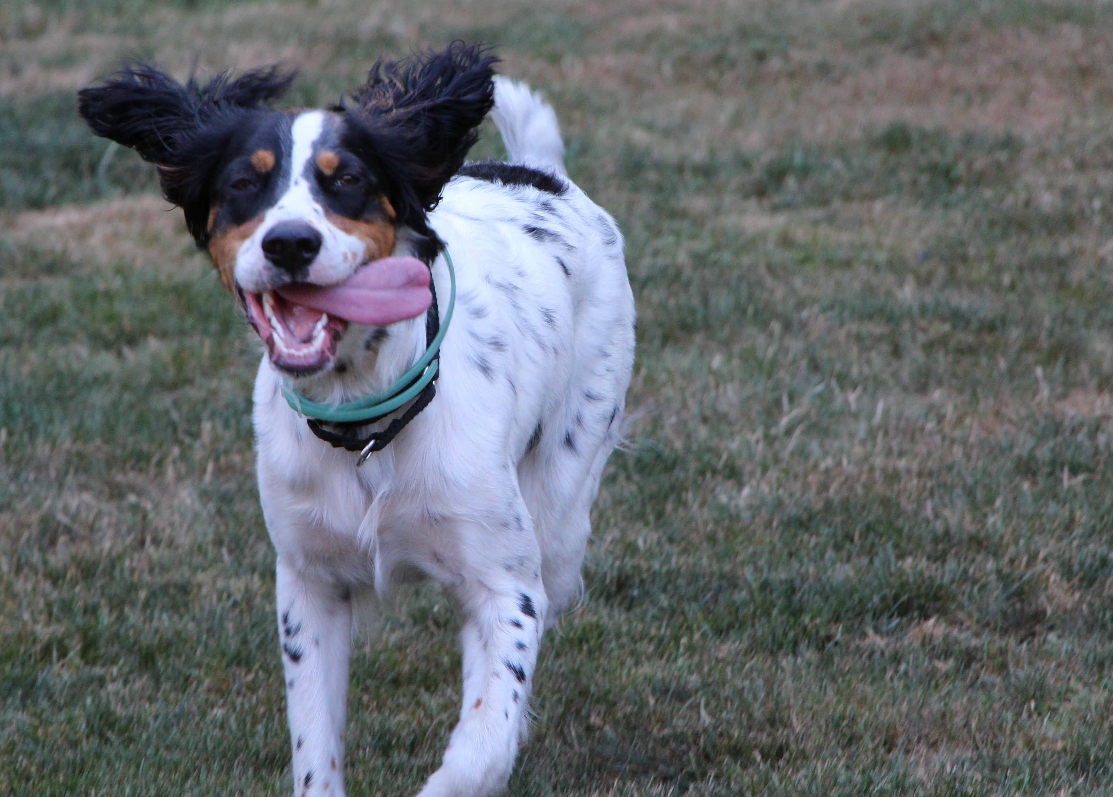 Running English Setter dog wallpaper