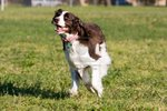 Running English Springer Spaniel dog