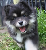 Running Finnish Lapphund puppy