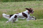 Running French Spaniel dog