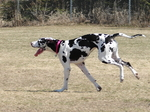 Running Great Dane dog