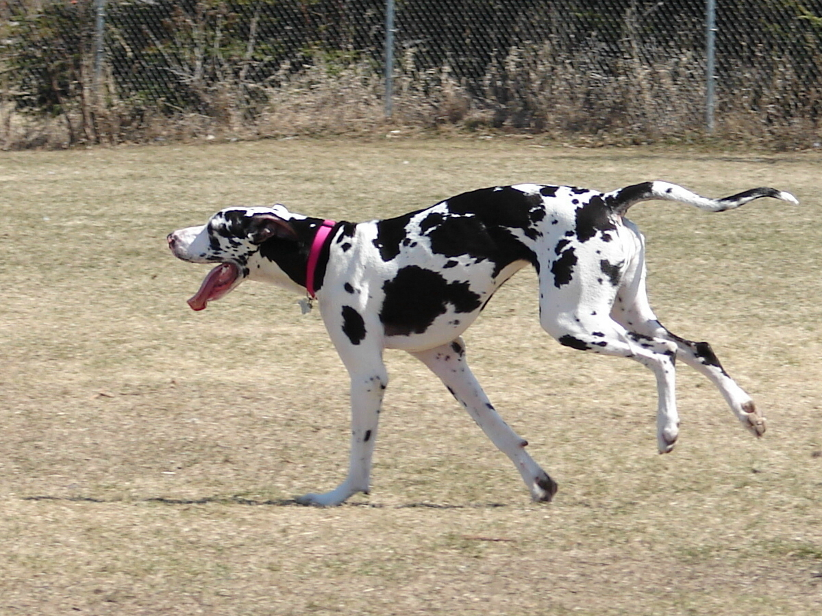 Running Great Dane dog  wallpaper