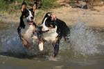 Running Greater Swiss Mountain Dogs