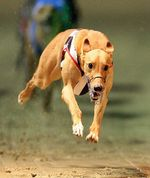 Running Greyhound