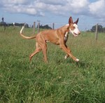 Running Ibizan Hound dog