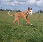 Ивисская собака бежит