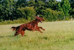 Running Irish Setter dog
